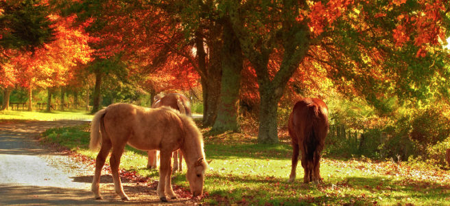 Ponies_grazing_Autumn