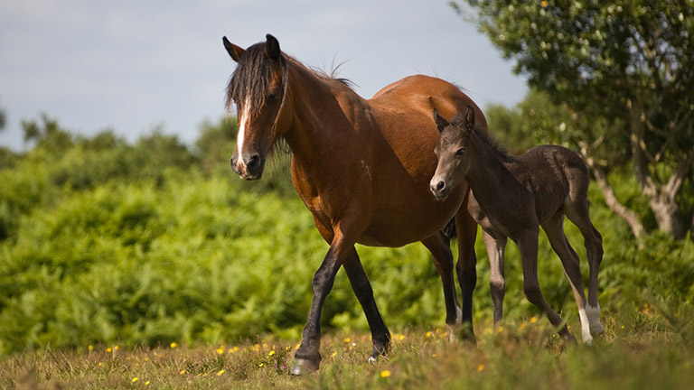 new-forest-pony-foal