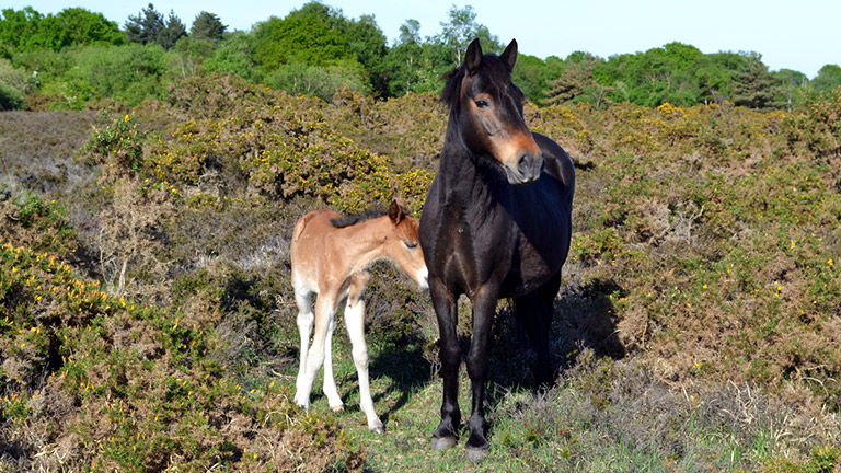 new-forest-pony-and-foal