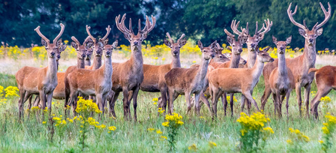 red-deer-stags-new-forest